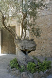 Mallorca, Balearic Islands, Spain. Live tree in front of the Dominican monastery in Pollensa, Mallorca, Balearic Islands, Spain, Europe Stock Image