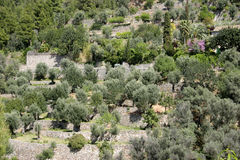 Mallorca, Balearic Islands, Spain. Olive plantation in Soller, Mallorca, Balearic Islands, Spain, Europe Stock Images