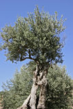 Mallorca, Balearic Islands, Spain. Olive tree in the Artist village Deià, Mallorca, Balearic Islands, Spain, Europe Stock Photo