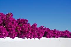 Mallorca, Majorca, Balearic Islands, Spain, Bougainvillea, flowers. Bougainvillea on a white wall of the island of Mallorca on June 11, 2012 Stock Image