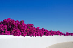 Mallorca, Majorca, Balearic Islands, Spain, bougainvillea, pink, purple, wall, white, flowers. Bougainvillea on a white wall of the island of Mallorca on June 11 Royalty Free Stock Photography