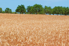 Mallorca, Majorca, Balearic Islands, Spain, countryside, wheat field, agriculture, nature, green, dirt road, yellow. The countryside of Mallorca, trees and wheat Stock Photography