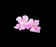 Mallorca pink winter flowers. Pink flowers closeup isolated on black Stock Images