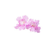 Mallorca pink winter flowers. Pink flowers closeup isolated on white Stock Image