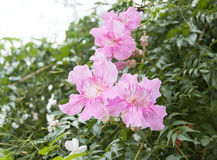 Mallorca pink winter flowers. Pink flowers closeup in Palma de Mallorca in November Stock Photography