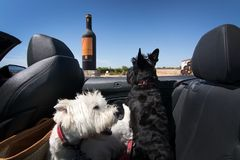 Dogs on wine tour. MALLORCA, SPAIN - AUGUST 7, 2017: Black and white terriers in cabriolet car on wine tour at Jose L. Ferrer vineyard on a sunny day on August 7 Stock Image