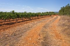 Mallorca vineyard. Grapes ripening on stock in a Mallorca vineyard on a sunny day in Mallorca, Spain Royalty Free Stock Images