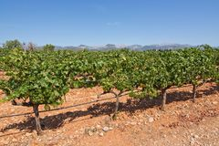 Mallorca vineyard. Grapes ripening on stock in a Mallorca vineyard on a sunny day in Mallorca, Spain Royalty Free Stock Photo