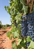 Mallorca vineyard. Grapes ripening on stock in a Mallorca vineyard on a sunny day in Mallorca, Spain Royalty Free Stock Photography