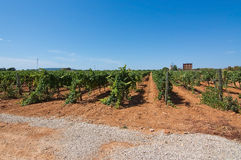 Mallorca vineyard. Grapes ripening on stock in a Mallorca vineyard on a sunny day in Mallorca, Spain Royalty Free Stock Image