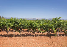 Mallorca vineyard. Grapes ripening on stock in a Mallorca vineyard on a sunny day in Mallorca, Spain Royalty Free Stock Photos