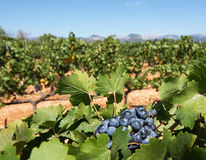 Mallorca vineyard. Grapes ripening on stock in a Mallorca vineyard on a sunny day in Mallorca, Spain Stock Photo