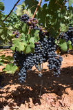 Mallorca vineyard. Grapes ripening on stock in a Mallorca vineyard on a sunny day in Mallorca, Spain Stock Photography