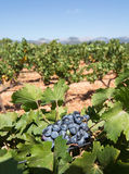 Mallorca vineyard. Grapes ripening on stock in a Mallorca vineyard on a sunny day in Mallorca, Spain Stock Photos