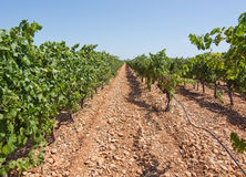 Mallorca vineyard. Grapes ripening on stock in a Mallorca vineyard on a sunny day in Mallorca, Spain Stock Image