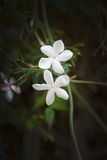 Mallorca white winter flowers. White flowers closeup in Palma de Mallorca in November Stock Images