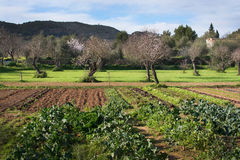 Mallorca winter garden. With blossoming almond trees and vegetables in early February Stock Photos