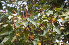 Mallotus philippensis. (Kamala or Red Kamala) in Spring in India Royalty Free Stock Photography
