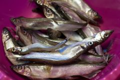 Mallotus villosus disgelato della mormora al piatto immagine stock