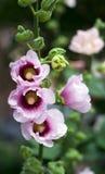 mallow ανθών ροζ στοκ εικόνα