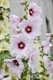 Mallow λουλούδι Στοκ Εικόνες