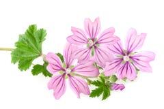 Mallow λουλούδια στοκ εικόνα με δικαίωμα ελεύθερης χρήσης