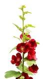 Mallow λουλούδια στοκ εικόνες
