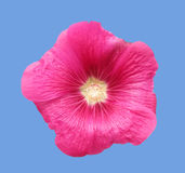 Mallow σμέουρων λουλούδι Στοκ Εικόνες