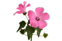 Mallow Stock Photos