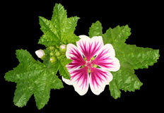 Mallow. Flower on a black background Royalty Free Stock Photos