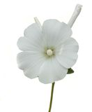 Mallow. White isolated mallow over white background. Nature Royalty Free Stock Photography