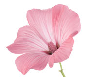 Mallow. Studio Shot of Pink Colored Mallow Isolated on White Background. Large Depth of Field (DOF). Macro Royalty Free Stock Image