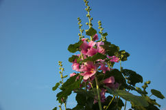 Mallow. Beautiful summer flower garden Royalty Free Stock Photography