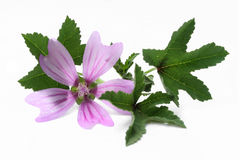 Mallow. Flower and leaf isolated on white background Stock Photos