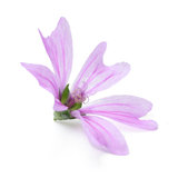 Mallow. Flower isolated on white background Royalty Free Stock Image