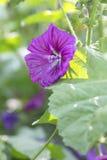 Mallow Bloom - Sylvestris Royalty Free Stock Image