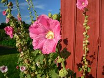 Mallow blooms. Mallow blooming next to red barn wall Stock Image