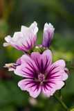 Mallow blossom Stock Photo