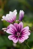Mallow blossom Stock Photo