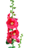 Mallow. A branch of pink mallow flower in blossom over white Royalty Free Stock Images