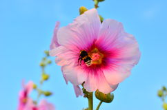 Mallow and bumblebee. Bumblebee extracting nectar from a flower mallow Royalty Free Stock Photo