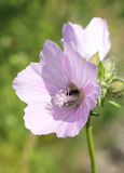 Mallow. Close photo of beautiful light purple blossom of mallow Royalty Free Stock Photography