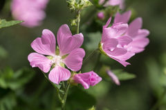 Mallow close up. Mallow blossoms in the garden close up Stock Photos