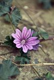 Mallow. A common mallow growing in the back yard. Violet petals. Malva sylvestris Royalty Free Stock Photo