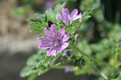 Mallow common. Purple flower close up Royalty Free Stock Photo