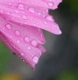 Mallow cor-de-rosa Fotografia de Stock Royalty Free