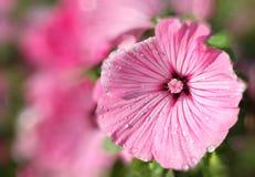 Mallow de Rosa Imagens de Stock