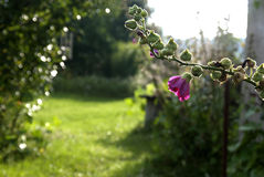 Mallow. End of blossom mallow in country garden Royalty Free Stock Image