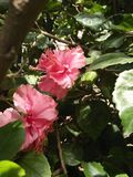 ROSE MALLOWS /HIBISCUS FLOWERING PLANTS. Mallow family; Malvaceae ,hibiscus flowers are one of the most spectacular blossoms ,The blooms are large ,colourful & Royalty Free Stock Image