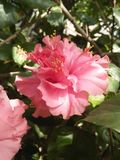 ROSE MALLOWS /HIBISCUS FLOWERING PLANTS. Mallow family; Malvaceae ,hibiscus flowers are one of the most spectacular blossoms ,The blooms are large ,colourful & Stock Image